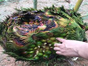 """Xuất hiện thêm cây vạn tuế """"mắn đẻ"""", ra gần 400 quả ở Nghệ An"""