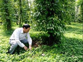 Nâng cao chất lượng cho tiêu nhờ trồng hoa, bón vỏ cua trong vườn