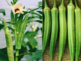 Làm giàu ở nông thôn: Trồng đậu bắp bán cho Nhật, lãi 1 triệu/ngày