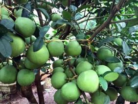 Làm giàu ở nông thôn: Bí quyết trồng bưởi đỏ sai quả như chùm nho ở xứ Mường