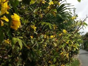 Lạ lùng: Mới đến tháng 8 âm lịch, mai vàng đã nở hoa!