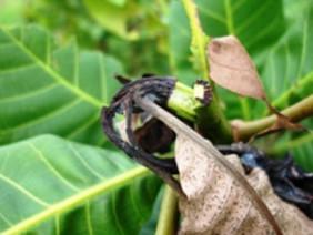 Bình Phước: Hãi hùng 10.000ha điều bị bọ xít muỗi ồ ạt tấn công