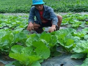 """""""Phát hờn"""" với vườn bắp cải xanh mướt 200 triệu của """"hot boy"""" bản Mông"""