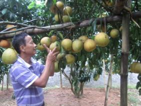Làm giàu ở nông thôn: Trồng có 128 cây bưởi đỏ thu 600 triệu đồng/năm