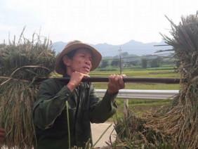Hòa Bình: Nông dân điêu đứng vì mất mùa, gặt lúa về cho trâu, bò ăn
