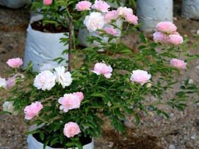 1000 m2 trồng hoa hồng: Đất vàng Hồ Tây chỉ để trồng hoa ngắm chơi