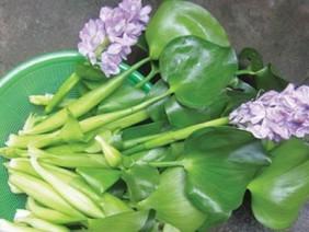 Bèo tây Việt Nam vứt bỏ không tiếc, ở Nhật giá 16.000 đồng/cây