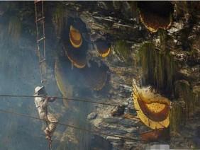 """Treo mình giữa vực sâu để tìm loại mật ong """"đắt hơn vàng"""", 127 triệu đồng/kg"""