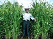 Trung Quốc tạo giống lúa cao hơn đầu người cho năng suất lớn