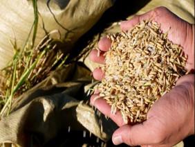 """Giải mã giống lúa """"siêu"""" chịu mặn trồng trên nước biển ở Trung Quốc"""