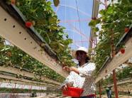 Kĩ thuật trồng dâu tây kiểu mới cho thu lãi tiền tỷ