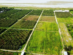 40ha dược liệu hoàn ngọc trồng bằng công nghệ vi sinh