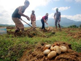 Nông dân đào sùng đất kiếm nửa triệu đồng mỗi ngày