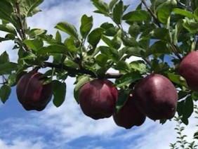 Xuất hiện táo Kim Cương siêu quý hiếm, màu tím ngắt đến khó tả