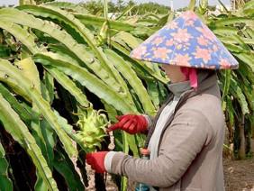 Độc chiêu nhà nông: Trồng thanh long giàn, vừa nhàn vừa ra lắm trái