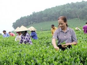 Hành trình đưa bộ đôi trà Thái Nguyên làm quà tặng tại diễn đàn APEC