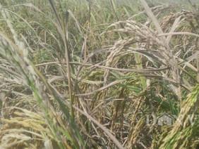 Quảng Ninh: Mất mùa, 6 sào thu được 3 túi thóc đắng, chỉ gà ăn được