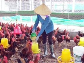 Từ ruộng trũng, lập trại nuôi gà ri lai, cứ 1.000 con lãi 25 triệu