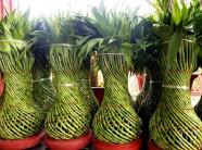 Nông dân Thái Bình sung túc nhờ cây phát lộc