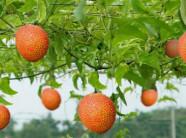 Tiềm năng kinh tế của trái gấc Việt Nam