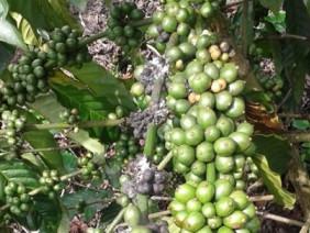 Rệp sáp hại quả cà phê và biện pháp phòng trừ