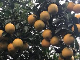 Siêu độc: Một cây cam Vinh đậu hơn 1.000 quả, trả 20 triệu