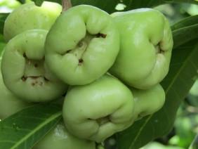 Trồng mận quả xanh lét, ăn ngọt như đường, lãi 300 triệu/năm