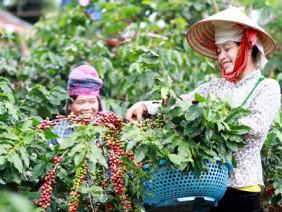 Cà phê Sơn La có mùi thơm như coca do kỹ thuật thu hái đặc trưng