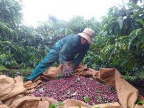 Còng lưng hái cà phê, nông dân Gia Lai chạy đua với mưa và... giá!