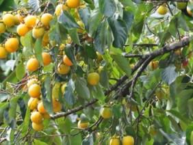 """Một cây """"đẻ"""" 300kg quả, hồng cậy giúp xã vùng cao thu cả tỷ/năm"""