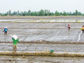 Chuyện lạ: Lúa vừa gieo sạ, thương lái đã đặt cọc mua giá cao