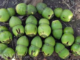 Dừa độc, lạ đón Tết 2018 của 'vua' tạo hình trái cây bị rụng la liệt