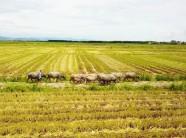 Tăng 150% sản lượng nhờ hệ thống thâm canh lúa cải tiến