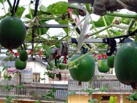 Siêu nông dân phố chỉ cách trồng bí dưa hấu tròn lẳn nặng