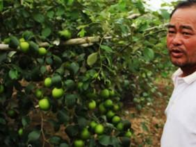 Vườn táo lúc lỉu quả hút hàng trăm khách đến thăm quan ở Đăk Lăk