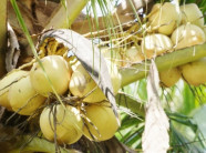 Dừa sáp Cầu Kè giá 200.000 đồng một quả có gì đặc biệt?