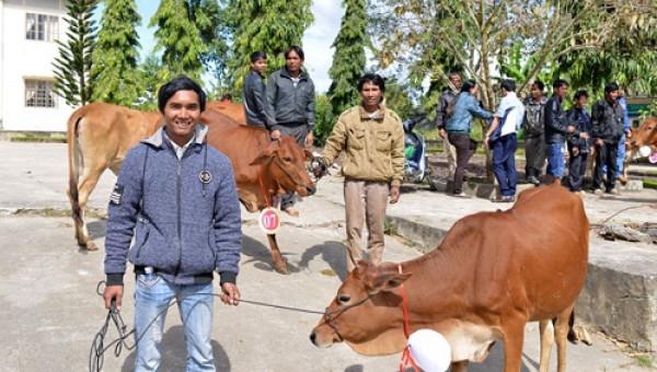 Cô gái Hà Lan trao tặng 80 con bò cho nông dân nghèo tỉnh Lâm Đồng