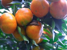 Trai làng tháo vát trồng cam đường Canh, thu hàng trăm triệu/năm