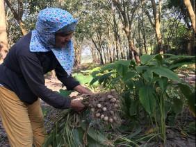 LẠ MÀ HAY: Cho cây củ lùn ở với cao su, ít tốn công, mà có 90 triệu