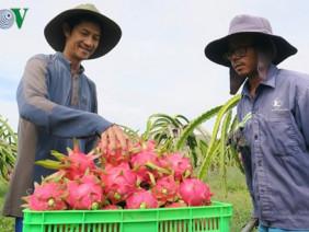 Bán tại Úc hơn 200.000 đồng/kg, nhà nông phấn khởi làm thanh long GlobalGAP
