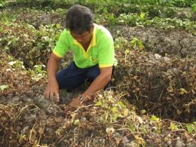 Vĩnh Long: Nhiều ruộng khoai bị kẻ xấu phun thuốc diệt cỏ cháy khô trong đêm