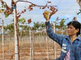 Ninh Thuận: Nông dân hoang mang vì phun thuốc trừ cỏ chết cả... nho