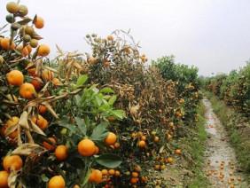 Người nông dân rơi nước mắt, bất lực vì kẻ xấu phá hoại gần 450 cây quất khi sắp đến Tết.