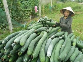 Bí xanh tăng kịch giá, nông dân thu tiền tỷ sau 3 tháng trồng
