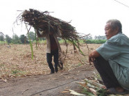 Giá mía đột ngột rớt thảm còn 100.000 đồng/tấn, nông dân mất Tết