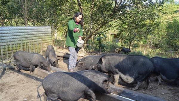 """Bí quyết dùng """"cây tăng trọng"""" để nuôi, lợn đen lớn nhanh như thổi"""