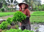Rau ăn Tết: Trồng rau cần nước bán Tết, rủng rỉnh tiêu Tết