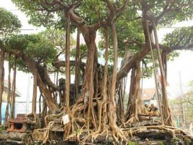 """Chi 5 tỷ để """"mua đứt"""" cây sanh bậc nhất đất Việt"""