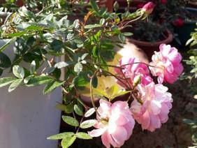 Cận cảnh vườn hoa đẹp lung linh có 1-0-2 ở Sơn La