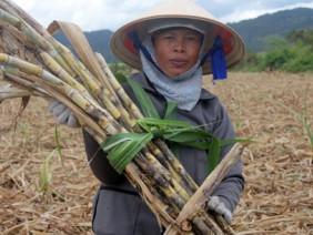 Sốc nặng: Gần Tết, giá mía tụt chỉ còn 700 đ/kg, nông dân ngậm đắng
